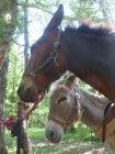 Le mulet et l'âne