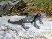 Petite Salamandre au détour d'un virage...