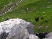 Valérie piégée par les vaches